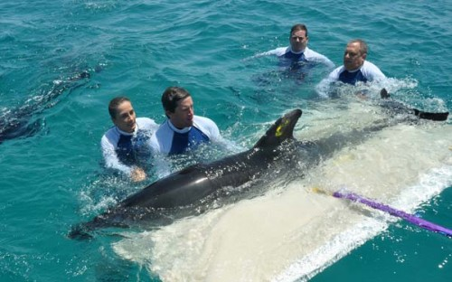 Sea World Rescue Team Rehabilitates Dolphin - Australasian