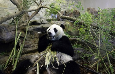 Zoos SA look to keep giant pandas in Adelaide