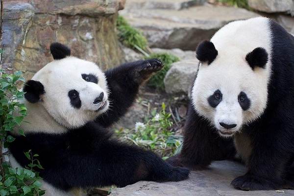 Adelaide Zoo to keep pandas Wang Wang and Fu Ni