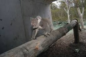 NSW Government announces koala reserves in attempt to reverse declining populations