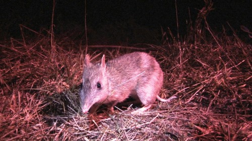 Fox-free Phillip Island to play key role in bandicoot conservation