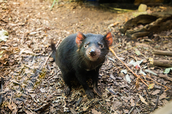WILD LIFE Sydney Zoo continues to educate on Tasmanian Devil conservation