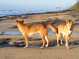 Rhyming signs warn of Fraser Island Dingo danger this Easter
