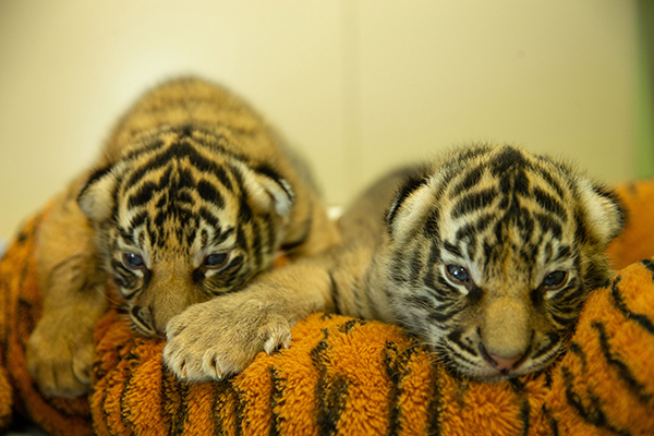 Dreamworld Tiger Cubs make first public appearance