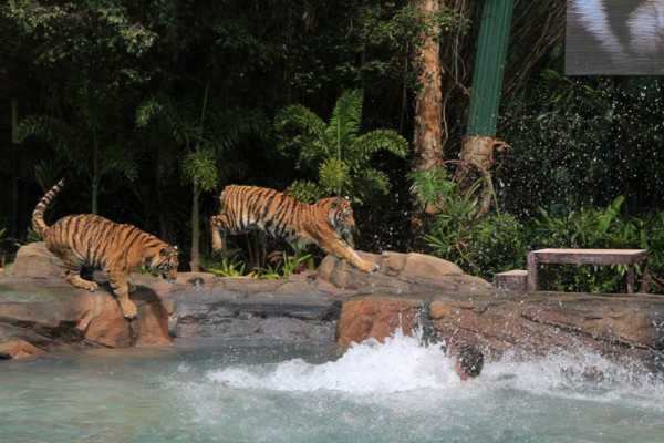 Dreamworld rejects criticism of animal care at Tiger Island attraction