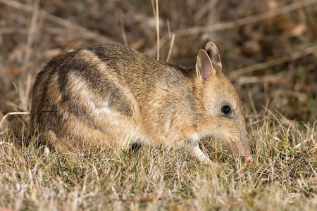 Melbourne park helps endangered eastern barred bandicoot to thrive