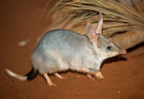 Western Plains Zoo sanctuary to aid Bilby conservation