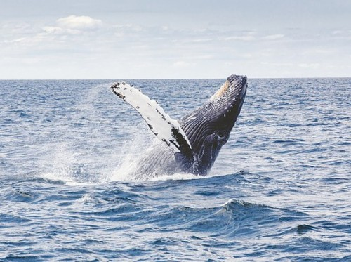 Australian Marine Conservation Society calls for protection of whales against renewed Japanese hunting