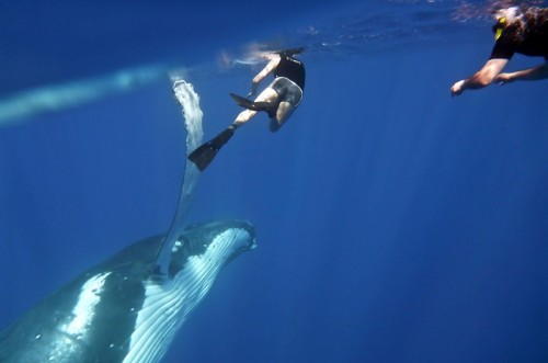 Swimming with humpback whales to be trialled at Ningaloo Marine Park