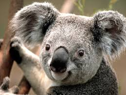 Federal funding for protection of NSW koalas