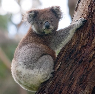 Koala inquiry calls for vulnerable status