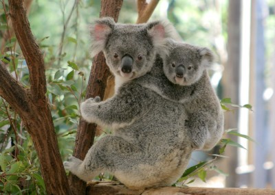 Koalas to be listed as threatened amid rapid decline