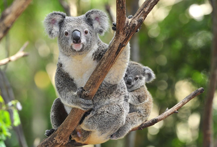 Improved mapping leads to better outcomes for koala habitat