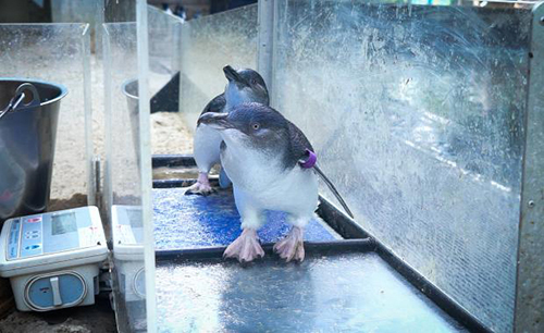 New device at Melbourne Zoo helps to monitor Little Penguin health
