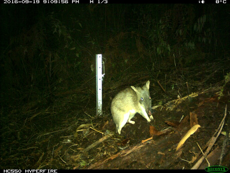 Hidden cameras reveal native species of the Great Otway National Park