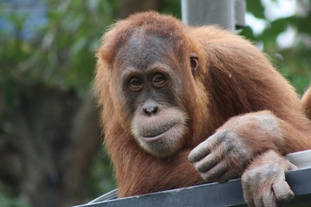 Melbourne Zoo highlights plight of orangutans with call for palm oil labelling