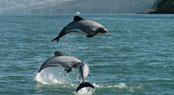 New Zealand Government plans to expand protection for Maui and Hector's dolphins