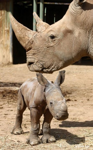 Monarto Zoo welcomes birth of southern white rhinoceros