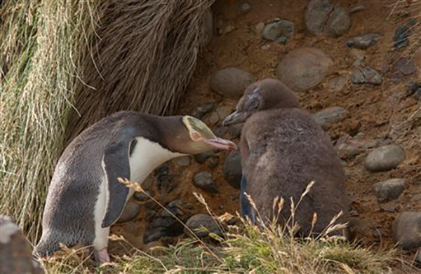 Five Year Action Plan launched to save New Zealand's endangered hoiho/yellow-eyed penguin