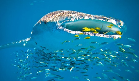 Visitor statistics show whale shark tourism on the rise