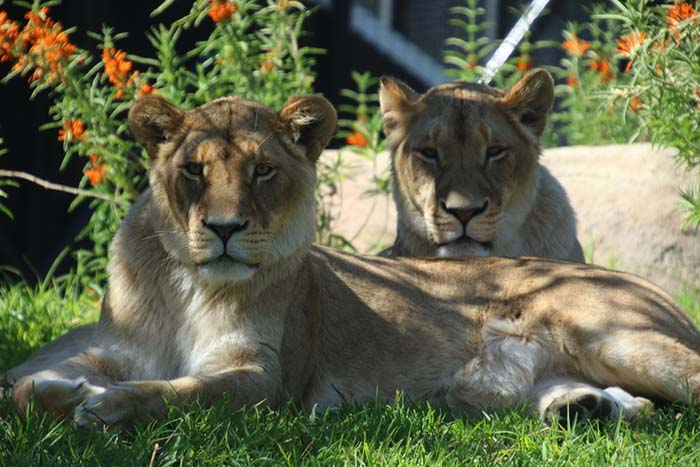 Perth Zoo officially opens its lion breeding facility