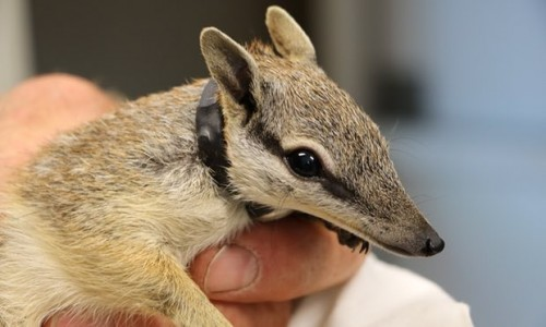Perth Zoo to release numbats into predator-free wild