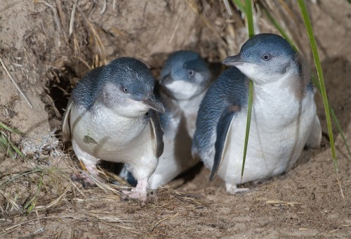 Record year for Phillip Island's penguins