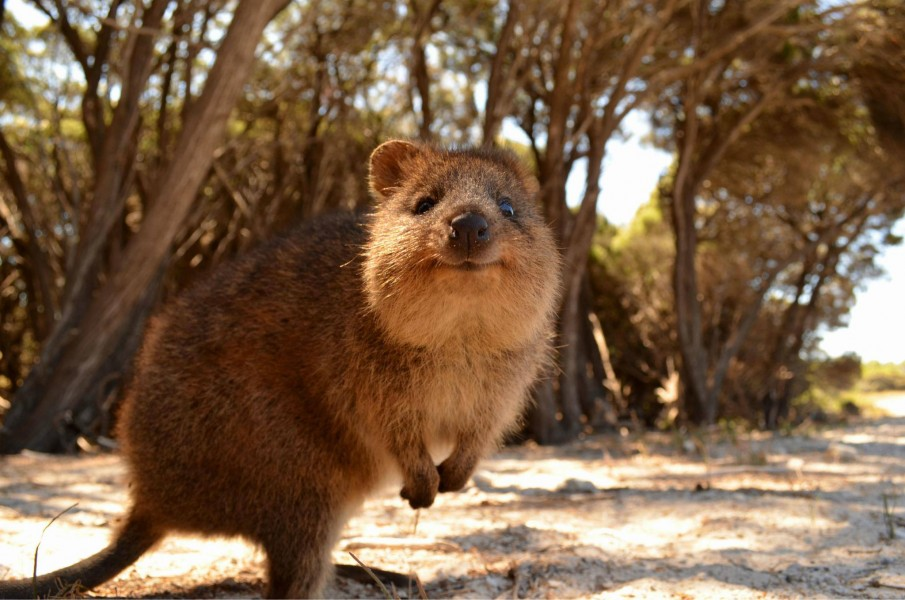 Tourists charged after alleged attempting to burn a Quokka on Rottnest Island