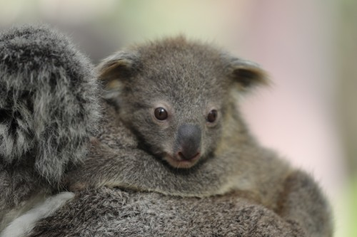 Australian Reptile Park welcomes record koala breeding season