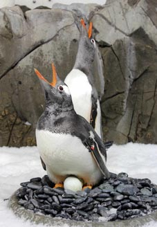 New Gentoo penguin breeding season underway at SEA LIFE Melbourne Aquarium