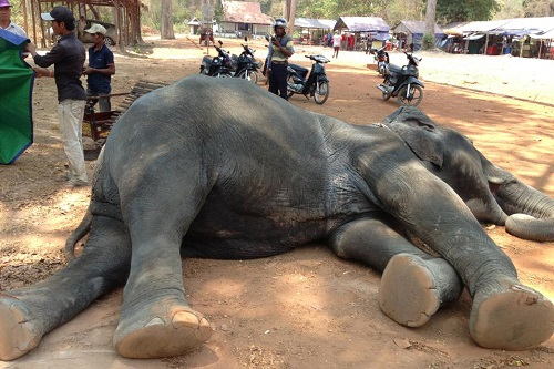 Anger as elderly elephant collapses and dies at Cambodia's Angkor Wat