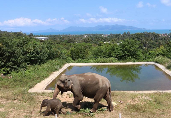 Thailand resort offers land to feed elephants during challenging times