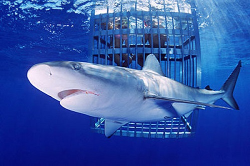 New Zealand's Tourism Industry Association call for law change to permit shark cage diving
