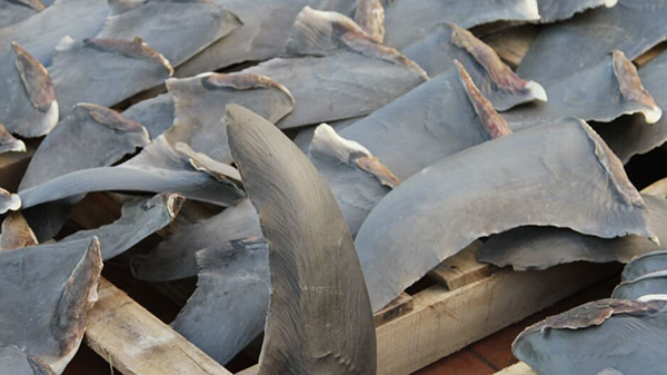 Data discrepancies suggest illegal trade in endangered hammerhead shark fins