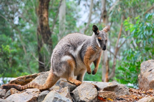 Recovery of Victoria's Brush-Tailed Rock Wallabies On Track