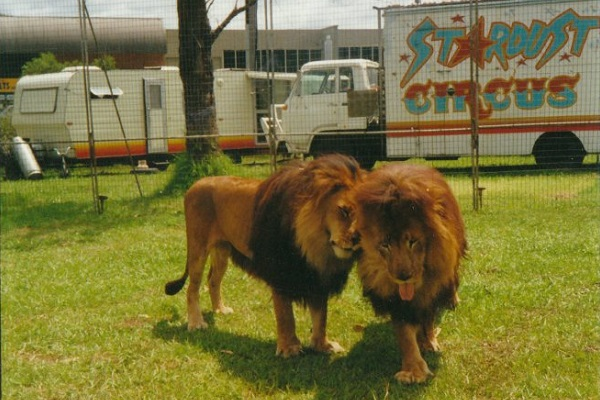 Failure to secure insurance see Australia's last circus with exotic animals move to retire its lions and monkeys