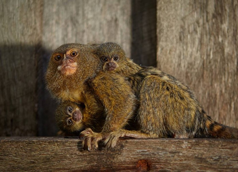 Stolen pygmy marmosets recovered and returned to Symbio Wildlife Park