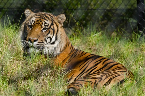 Auckland Zoo's young Sumatran tigers cross the Tasman