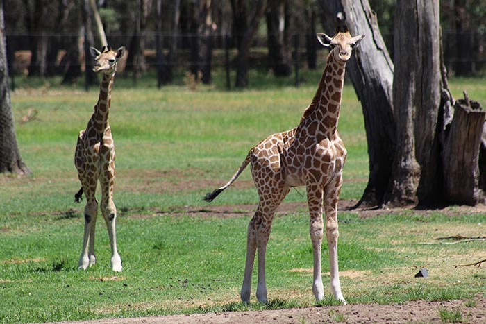 Taronga Western Plains Zoo celebrates birth of two Giraffe calves