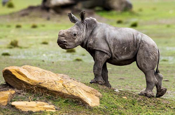 Taronga Zoo highlights continued threat to the Rhino