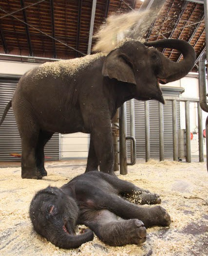 'Miracle' of Sydney's baby elephant