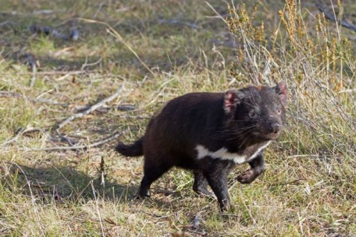 Fence to protect newly released Tasmanian Devils