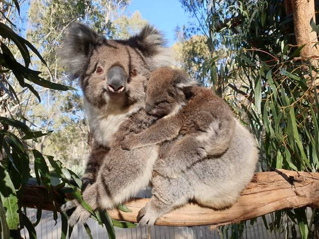Evacuated koalas return to upgraded enclosure