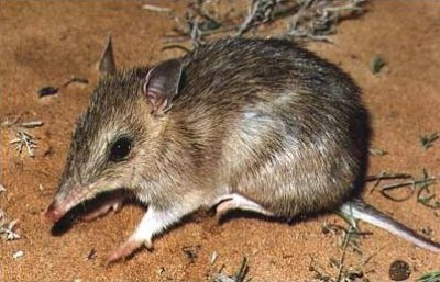 Australian native mammals to be reintroduced to NSW