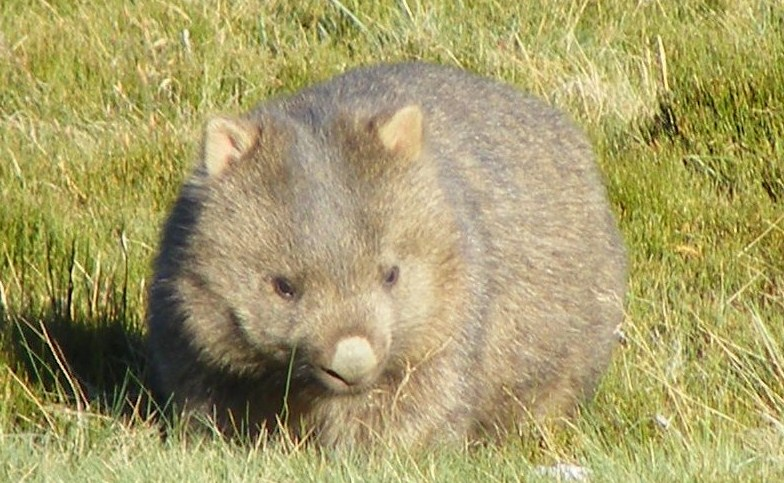 University of Adelaide conference to explore the secret life of wombats