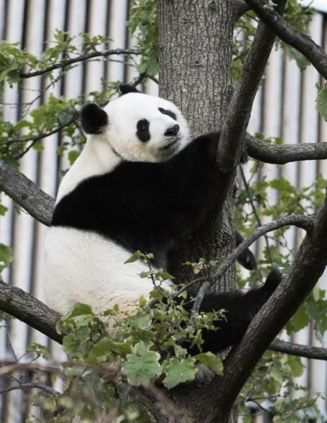 Zoos SA monitor Giant Pandas during annual breeding season
