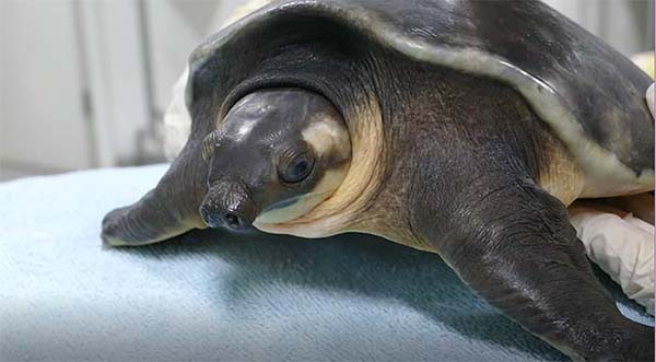 Adelaide Zoo now home to two pig-nosed turtles