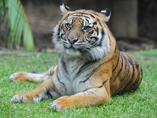 Taronga Zoo reveals plans for $16 million Sumatran Tiger exhibit