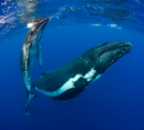 Sunreef Mooloolaba gets set for 2015 Swimming with Whales Season
