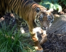 Australia's oldest Sumatran tiger Kemiri euthanased at Adelaide Zoo